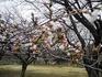 桜とおじいちゃん.JPG