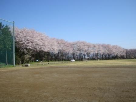 24年桜 グランド.JPG