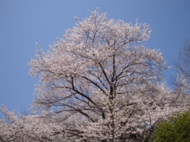 24年桜 043.JPG